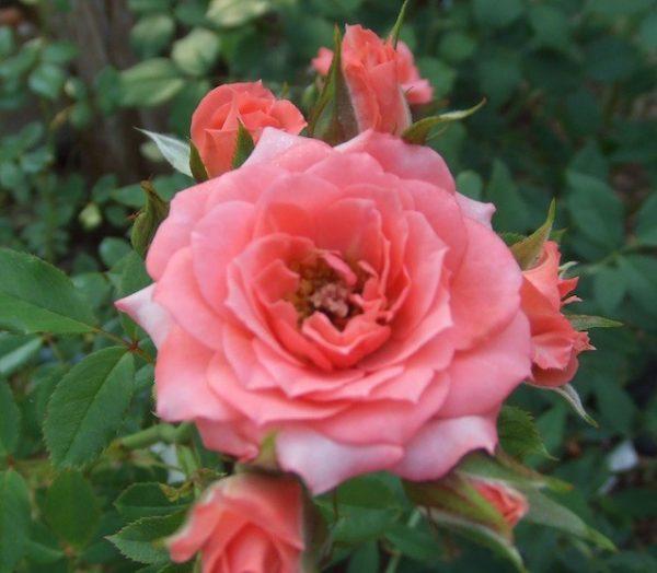 Angel Pink