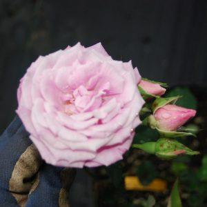 Beauty of Rosemawr