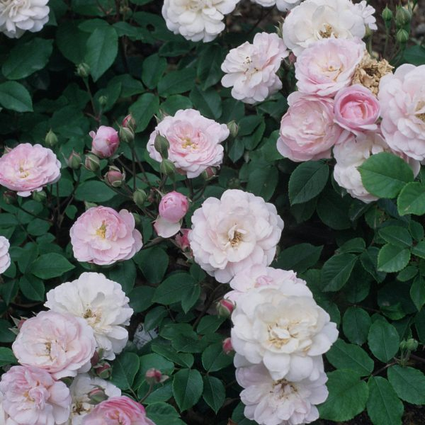 Blush Noisette (Antique)