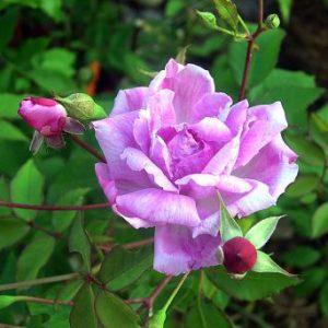 Camelia Rose (OGR)