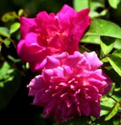 Carnation (Bermuda)