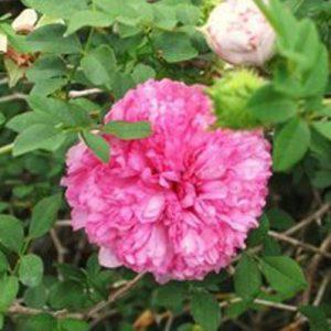 Chestnut Rose (R. roxburghii)