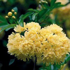 Lady Banks Yellow (OGR)