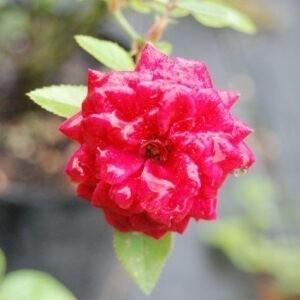 Royal Ruby