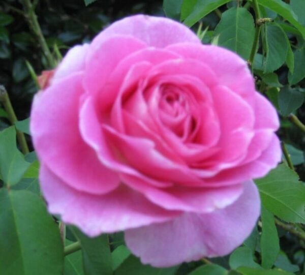 Richard's Rose